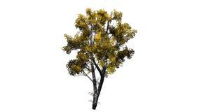 Solo árbol de abedul blanco en el otoño Imagenes de archivo