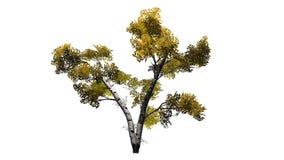 Solo árbol de abedul blanco en el otoño Fotografía de archivo