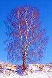 Solo árbol de abedul en el paisaje de la cuesta Nevado Fotografía de archivo libre de regalías