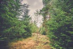 Solo árbol de abedul en un bosque con los árboles de pino Foto de archivo libre de regalías