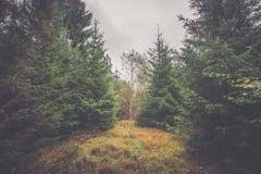 Solo árbol de abedul en un bosque del pino Fotografía de archivo libre de regalías