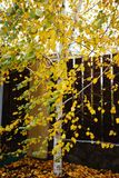 Solo árbol de abedul que se coloca cerca de la cerca de madera el día del otoño Fotografía de archivo libre de regalías