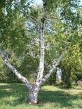 Solo árbol de abedul Tronco de árbol de abedul Foto de archivo