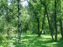 Solo árbol de abedul Tronco de árbol de abedul Foto de archivo libre de regalías