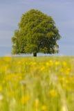 Solo árbol de haya Foto de archivo libre de regalías