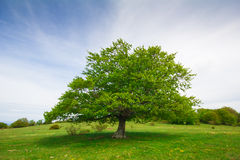 Solo árbol de haya grande Fotos de archivo