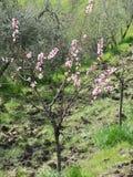 Solo árbol de melocotón en flor Toscana, Italia Foto de archivo