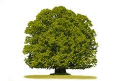 Solo árbol de tilo aislado Fotografía de archivo libre de regalías