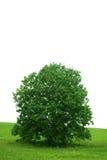 Solo árbol e hierba verde. Imagen de archivo libre de regalías