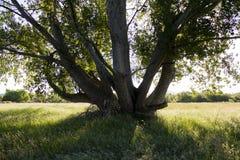 Solo árbol en campo de hierba imagen de archivo