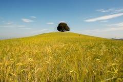 Solo árbol en campo de trigo Foto de archivo libre de regalías