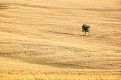 Solo árbol en el centro de un campo de trigo en el verano, paisaje de Toscana, Italia Fotografía de archivo