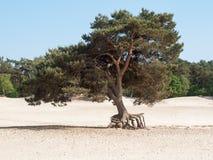 Solo árbol en la duna de arena Imagen de archivo