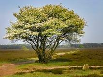 Solo árbol en la primavera, Países Bajos Fotos de archivo libres de regalías