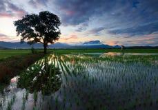 Solo árbol en un campo de arroz en Sabah, Borneo Foto de archivo libre de regalías