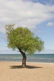 Solo árbol en una playa Imagen de archivo libre de regalías