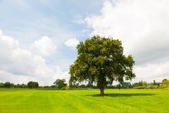 Solo árbol en prados verdes Foto de archivo libre de regalías