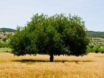 Solo árbol perfecto Imagenes de archivo