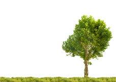 Solo árbol plano de Londres en hierba verde Foto de archivo libre de regalías