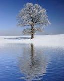 Solo árbol viejo grande en el invierno Fotos de archivo