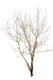 Solo árbol viejo y muerto Imagen de archivo