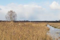 Solo abedul en invierno, río en invierno rodeado por los árboles, hierba vieja seca y residuo de la nieve Fotografía de archivo libre de regalías