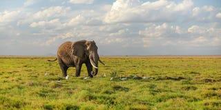 Solo africana africano del Loxodonta del elefante del arbusto que camina en la sabana, pájaros blancos de la garza en sus pies foto de archivo
