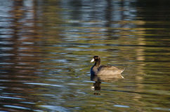 Solo American Coot Stock Photography