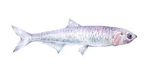 Solo animal de los pescados de la anchoa de la acuarela aislado Imágenes de archivo libres de regalías