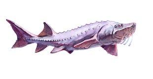 Solo animal de los pescados de la beluga de la acuarela aislado Imagen de archivo