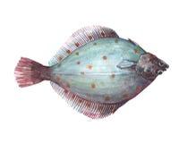Solo animal de los pescados de la platija de la acuarela aislado libre illustration