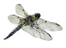 Solo animal del insecto de la libélula de la acuarela ilustración del vector