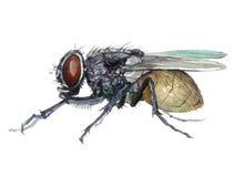 Solo animal del insecto de la mosca de la acuarela aislado stock de ilustración
