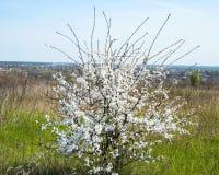 Solo arbusto floreciente Foto de archivo libre de regalías