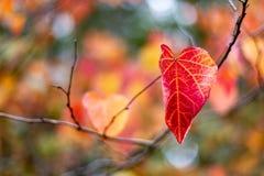 Solo Autumn Fall Leaves rojo y amarillo con un focu selectivo imagen de archivo