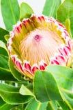 Solo Banksia rojo Fotografía de archivo libre de regalías