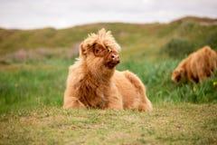 Solo becerro escocés del montañés en la isla holandesa del texel foto de archivo libre de regalías
