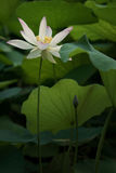 Solo booming. The Hindu Lotus is a grace summer view in China Stock Images