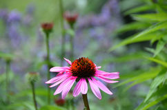 Solo brote de flor del Echinacea de la flor rosada del cono Foto de archivo