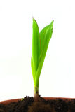 Solo brote del maíz Imágenes de archivo libres de regalías