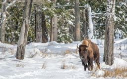 Solo Buffalo In Snow on a Sunny Day royalty free stock images