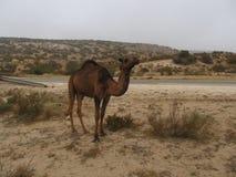 Solo camello Foto de archivo