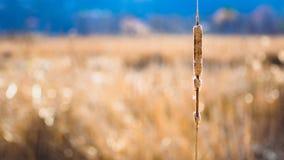 Solo cattail en un campo Fotos de archivo