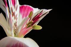 Solo cierre de la flor encima de 1 Foto de archivo libre de regalías