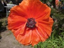 Solo cierre rojo de la flor de la amapola de maíz para arriba Fotografía de archivo libre de regalías