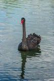 Solo cisne negro Foto de archivo libre de regalías