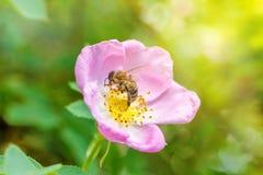 Solo color de rosa salvaje y abeja de la primavera Foto de archivo libre de regalías