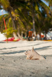 Solo conch shell. Conch shell on the beach with a shallow depth of field Stock Photography