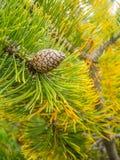 Solo cono del pino en una rama del higo Foto de archivo