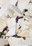 Solo crecimiento de flor azul solo en las piedras en montañas fotografía de archivo